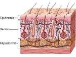 esquema pell