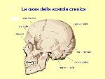 Le+ossa+della+scatola+cranica