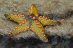 220px-Starfish_08_(paulshaffner)
