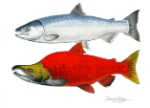Sockeye-Salmon-Pair