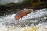 salmon-in-river-MAIN