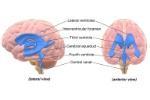brain_ventricles-56d0ccd03df78cfb37b876dc