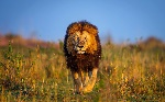 Lion-Cool-Backgrounds-Wallpapers