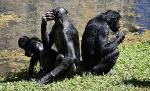 Scimmia-Bonobo-4