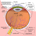 Schematic_diagram_of_the_human_eye_sk.svg