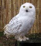 269px-Snowy.owl.overall.arp.750pix