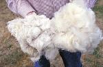 260px-Wool.www.usda.gov