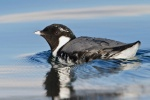 Ancient Murrelet b57-14-017_V