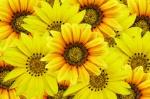 Gele-bloemen