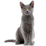 gatto-certosino