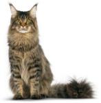 gatto-maine-coon