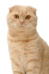 gatto-scottish-fold