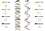 diferencias-ADN-ARN