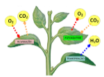 respiracao-e-transpiracao-dos-vegetais