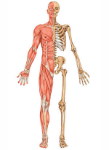 Osteomuscular