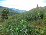 ladera-maíz