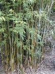 Bambusa-textilis-Weavers-Bamboo-BTE-inground
