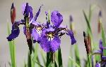 iris-1420047_1920
