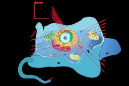 Animal_cell_structure_en.svg