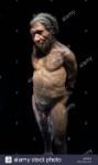 uomo-di-neanderthal-modello-di-homo-neanderthalensis-museo-di-storia-naturale-di-londra-inghilterra-regno-unito-m3rgeg