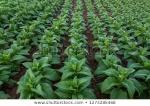 tobacco-field-big-leaf-crops-450w-1273285468