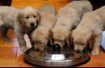 puppies-eating