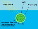 microalgas-1