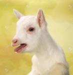 35323320-bebé-recién-nacido-blanco-como-la-leche-de-cabra-balido-voz-alta