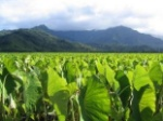 taro_leaves_field_270930_l