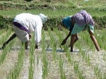 300px-Working_in_the_rice_paddy