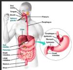 human digestive