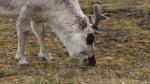 606057692-essere-vivente-spitzbergen-renna-tundra