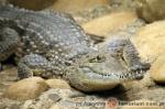 misisipijski aligator