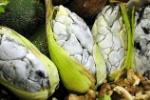 hongo-maiz