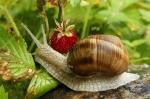 depositphotos_8315555-stock-photo-worm-on-strawberry-field