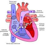 300px-Diagram_of_the_human_heart_hu_it.svg