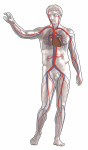 352px-Blutkreislauf