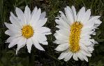 faciated-flower