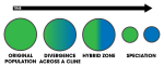 300px-Parapatric_Speciation_Schematic.svg