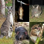 220px-Marsupialia