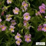 mimulus-lewisii-monkey-flower