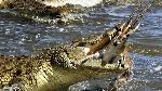 cocodrilo-gacela