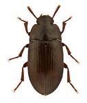 15-6-18--escarabajos-en-granjas-de-pollo-el-sitio-avicola-shutterstock_88378795-