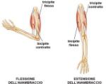 medicina-online-muscoli-bicipite-tricipite-quadricipite-braccio-gamba-coscia