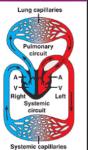 mammal heart