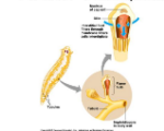 protonephridia