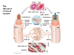 The+structure+of+blood+vessels
