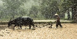 buffalo-1822581_1280