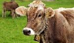cow-3089259_1280