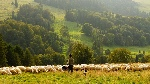 sheep-690198_1280